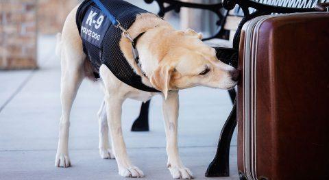 Zollhund, Spürhund, Koffer, Anschlagen, Erkennen, Schmuggel